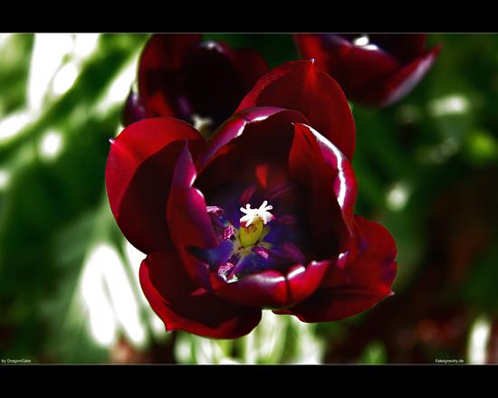 Name: wallpaper_dragongate_tulip_01_550x418.jpg Größe: 550x440 Dateigröße: 158806 Bytes