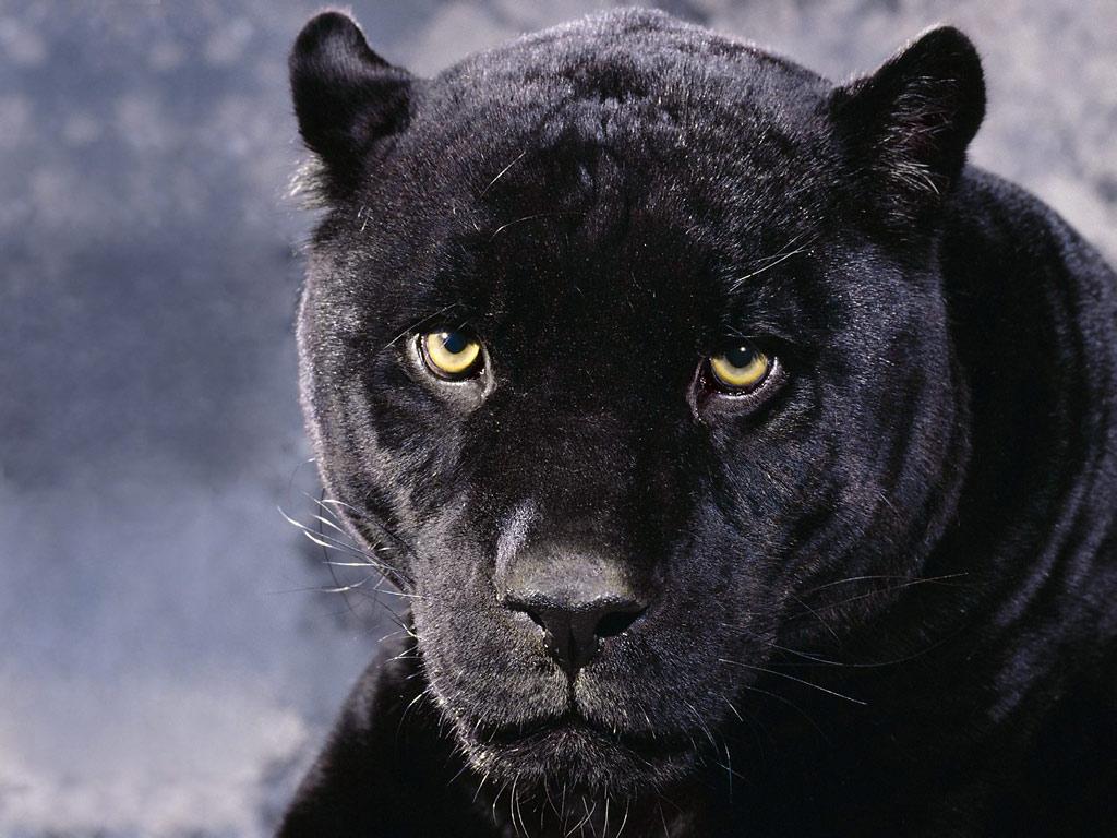 Name: A_Dark_Mood_Black_Panther.jpg Größe: 1024x768 Dateigröße: 174193 Bytes