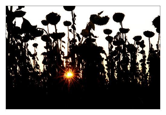 Name: Sonnenblumenfeld.jpg Größe: 862x595 Dateigröße: 359591 Bytes